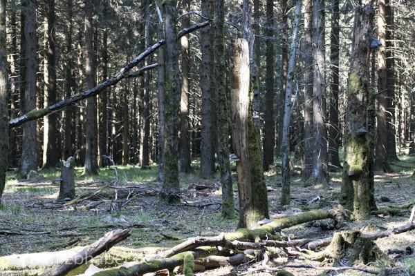 Tannenwald